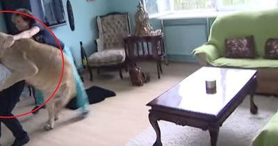 Heftig! Der Löwe attackiert einen Mann!