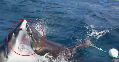 Futterneid mal anders: Ein weißer Hai wird von einem Artgenossen attackiert!