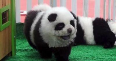 In diesem Video sieht man keine Pandas!