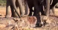 Elefantenbaby bleibt im Schlamm stecken!