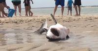 Weißer Hai an Land! Eine riskante Rettungsaktion