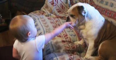 Dramatischer Streit zwischen Baby und Bulldogge!