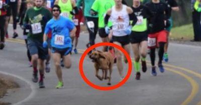 Verrückt: Dieser Hund läuft einen Halb-Marathon, ohne es zu merken!