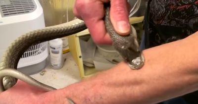 DIESER Mann hat sich von 160 Giftschlangen beißen lassen!