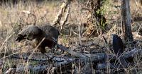 Seltener Anblick: Eine giftige Schlange kämpft gegen einen hungrigen Adler!