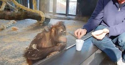 Affe sieht Zaubertrick und kann nicht mehr vor Lachen