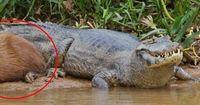 Alle Tiere lieben die Capybaras!