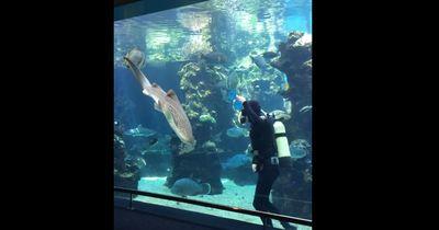 Ein Taucher putzte das Aquarium, doch kam dieser Zebrahai direkt auf ihn zu