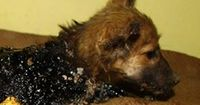 Herzzerreißend: Welpe wird aus Teer befreit
