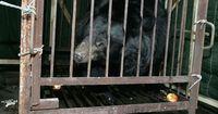 """Bären werden für sog. """"Heilmittel"""" gefangen gehalten und gequält"""