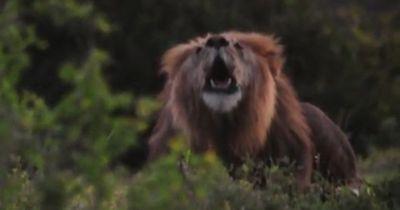 Wenn Löwen singen...