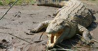 Krokodil schleift 19-Jährigen aus seinem Zelt