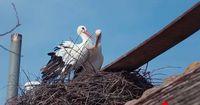Dieses Storchenpaar erlitt einen schweren Schicksalsschlag