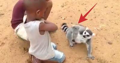 Dieser Lemur ist süchtig nach Streicheleinheiten...