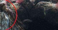 Dieser Oktopus legt eine filmreife Flucht hin
