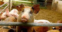 Diese vier Punkte zeigen, wie großartig Schweine sind