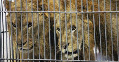 Jahre lang eingesperrt in engen Käfigen: Das Schicksal von Zirkuslöwen