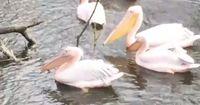 Faszinierend: So können Pelikane ihren Schnabel einsetzen