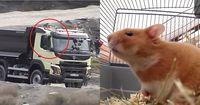 Kein Witz: Dieser Hamster steuert einen LKW