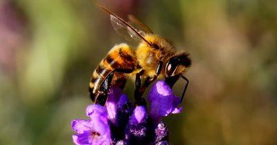 Summender Muskelprotz: Diese Biene zieht Nägel aus der Wand!