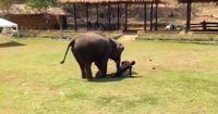 Wie diese Elefantin ihren Pfleger verteidigt, ist herzergreifend!