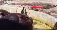 Enthüllt: So aggressiv sind Flusspferde wirklich