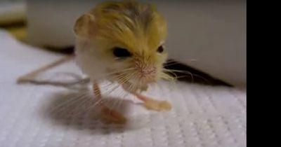 Diese kleine Maus ist das wohl süßeste Tier der Welt...