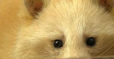 DIESES Tier ist so selten, dass man dachte, es sei ausgestorben!