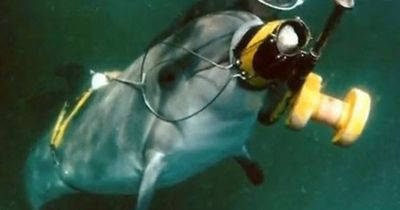 Das russische Militär hat neue Rekruten: Delfine!