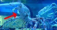 Diese Riesenkrabben werden dir Angst machen!
