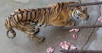 Tigerwein - Für dieses Getränk sterben in China Tausende Tiger...!