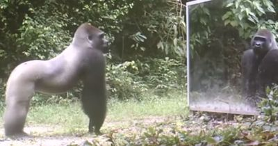 Das passiert, wenn man einen Spiegel im Dschungel aufstellt