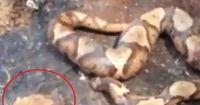 Verstörendes Video: Schlage einer Schlange niemals den Kopf ab!