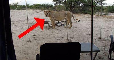 Sie campen mitten in der Savanne! Dann bekommen sie tödlichen Besuch!
