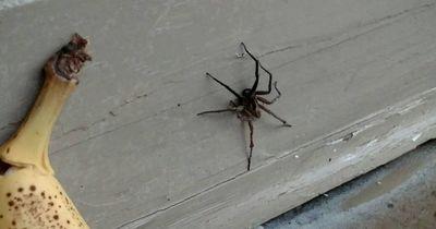 Sie versuchen eine Spinne zu töten! Dann kommt der Schock!