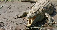 Sie werden von Krokodilen angegriffen und kämpfen bis zum Tod!
