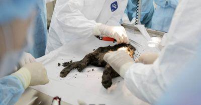 Dieser Welpe starb vor über 12.000 Jahren - jetzt wird er geklont!