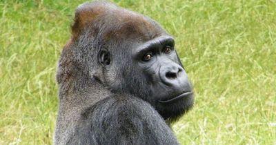 Mord an einem Gorilla im Zoo löst riesen Shitstorm aus