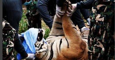 """Polizei räumt """"Tiger-Tempel""""!  Was sie da finden, ist nichts für schwache Nerven..."""