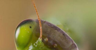Dieses unscheinbare Insekt ist tödlich!