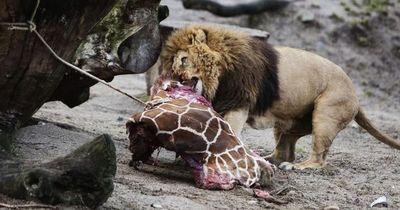 In deutschen Zoos werden regelmäßig Tiere getötet