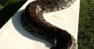 Frau stolpert über 5 Meter lange Python in ihrem Garten