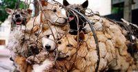 Um diese Hunde vor dem Tod zu retten, begibt sich ein Japaner in Lebensgefahr!