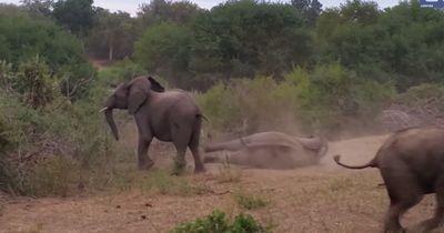 Sexunfall: Dieser Elefant fällt auf den Rüssel!