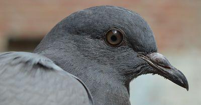 Darum nicken Tauben ständig mit dem Kopf!