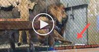 Heftiges Video: Der Löwe verletzt sich im Gehege, aber niemand im Zoo will ihm helfen