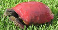 Tierquäler färbten diese Schildkröte rot!
