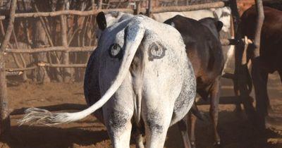Clevere Idee: Mit diesem Trick retten Forscher afrikanischen Kühen das Leben!