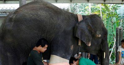 Dieser Elefant verlor sein Bein durch eine Landmine!