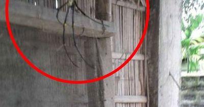 Ist DAS die größte Spinne der Welt?